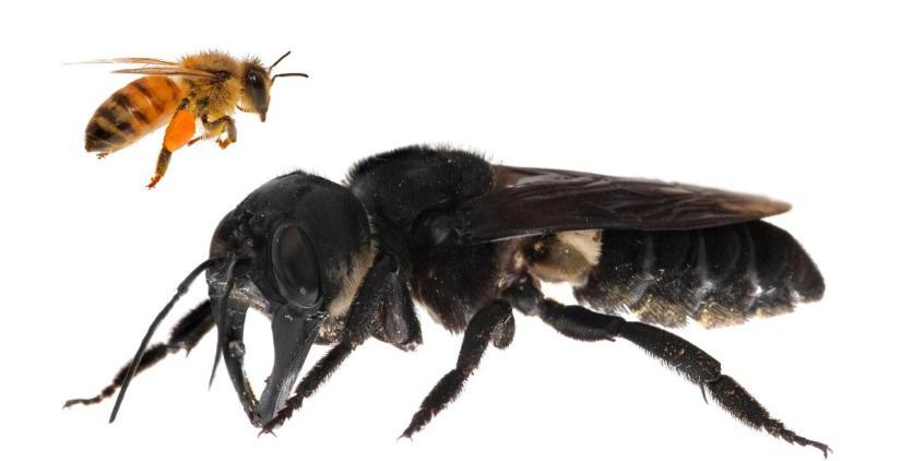 TOPSHOT-INDONESIA-NATURE-ENVIRONMENT-ANIMAL-BEE